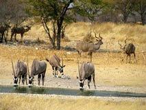 Oryx del parque nacional de Namibia Imagen de archivo libre de regalías