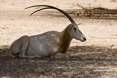 Oryx del Scimitar imágenes de archivo libres de regalías