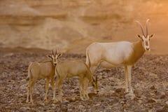 Oryx del Scimitar durante puesta del sol Imagen de archivo libre de regalías