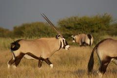 Oryx, der seine Wekzeugspritze säubert lizenzfreies stockfoto