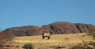 Oryx in the desert Royalty Free Stock Images