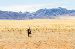 Oryx in a desert landscape Stock Images