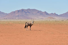 Oryx and Desert Landscape - NamibRand, Namibia Stock Images