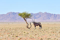 Oryx and Desert Landscape - NamibRand, Namibia Stock Photo