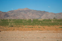 Oryx in a Desert and Mountain Landscape near Solitaire, Namibia stock images