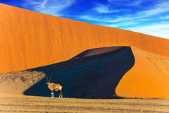 Oryx in the desert. Namibia, South Africa. Sunset in the desert. Oryx standing at the road. Sharp border of light and shadow over the crest of the dune. The royalty free stock photos