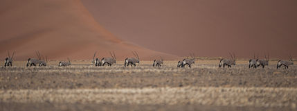Oryx in the desert. Some oryx in the namibian desert royalty free stock images