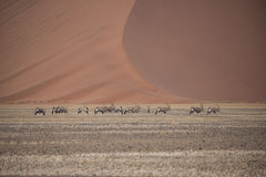 Oryx in the desert Royalty Free Stock Photo
