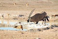 Oryx die bij waterhole met jakhals knielen Stock Foto's