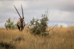 Oryx die vanaf de camera lopen Royalty-vrije Stock Afbeeldingen