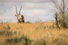 Oryx die vanaf de camera lopen Royalty-vrije Stock Foto's