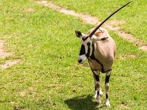 oryx do Um-chifre Imagem de Stock Royalty Free