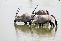 Oryx Drinking Stock Photography
