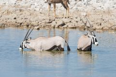 Oryx drinking from Okaukuejo waterhole in daylight. Wildlife Safari in Etosha National Park, the main travel destination in Namibi Royalty Free Stock Photography