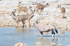 Oryx drinking from Okaukuejo waterhole in daylight. Wildlife Safari in Etosha National Park, the main travel destination in Namibi Stock Photography