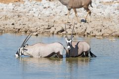Oryx drinking from Okaukuejo waterhole in daylight. Wildlife Safari in Etosha National Park, the main travel destination in Namibi Stock Photo