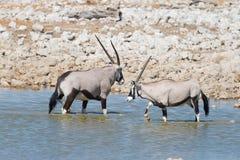 Oryx drinking from Okaukuejo waterhole in daylight. Wildlife Safari in Etosha National Park, the main travel destination in Namibi Royalty Free Stock Photos
