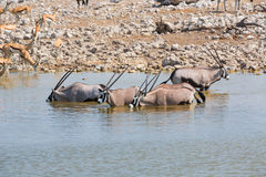 Oryx drinking water in Etosha NP Royalty Free Stock Photography
