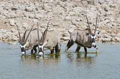 Oryx drinking in a waterhole Stock Photo
