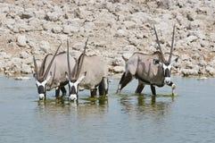 Oryx drinking in a waterhole Stock Photo