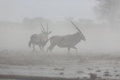 Oryx in the dust Stock Photo