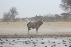 Oryx in a dust storm Stock Photos