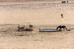 Oryx e cavalos na água Fotos de Stock Royalty Free