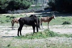 Oryx in einer Reserve Stockfotografie
