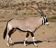 Oryx en el desierto de Kalahari Imagen de archivo libre de regalías