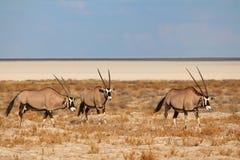 Oryx en el parque nacional de Etosha Imagen de archivo libre de regalías