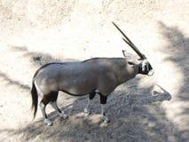 Oryx en el parque zoológico abierto de Khao Kaeo foto de archivo libre de regalías