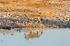 Oryx en la puesta del sol Fotos de archivo