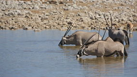 Oryx en waterhole almacen de video