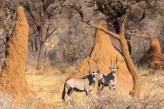 Oryx et termite Images libres de droits