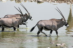 Oryx in Etosha Royalty Free Stock Image