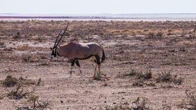 Oryx. In Etosha National Park, Namibia Stock Image