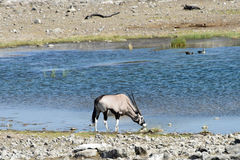 Oryx in Etosha National Park. Oryx at a watering hole in Etosha National Park, Namibia Stock Photos