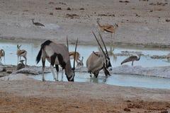Oryx in Etosha-Park, Namibië Royalty-vrije Stock Afbeeldingen