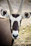 Oryx  face Stock Image