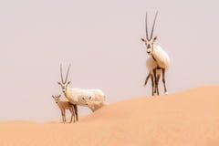 Oryx family in the dunes of the Dubai Desert Conservation Reserv. E, United Arab Emirates Royalty Free Stock Photo