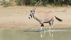 Oryx - faune d'Afrique - klaxons d'épée image libre de droits