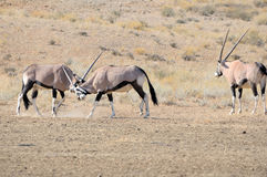 Oryx fighting Royalty Free Stock Photos