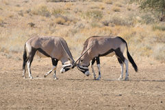 Oryx fighting. In the Kgalagadi Transfrontier Park, South Africa Stock Photography