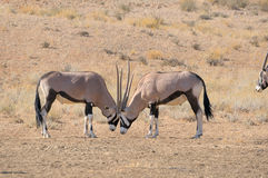Oryx fighting. In the Kgalagadi Transfrontier Park, South Africa Royalty Free Stock Images