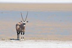 Oryx Stock Photography