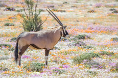 Oryx in flowers Stock Image
