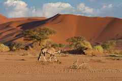 Oryx in front of the Sossusvlei dunes Royalty Free Stock Images