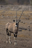 Oryx gazella Stock Photo