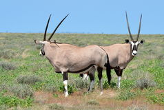 Oryx gazella Royalty Free Stock Photo