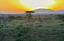 Oryx gazella Fotografia Stock